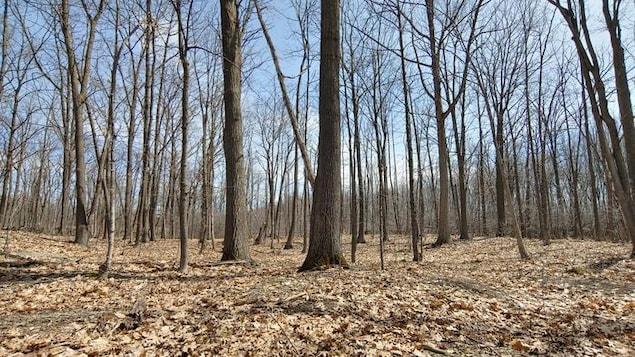 Un boisé de chênes dont le sol est recouvert de feuilles mortes.
