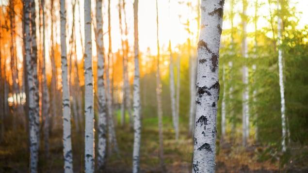 Une forêt de bouleaux.