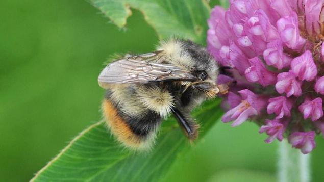 Un bourdon fébrile pollinise une fleur.