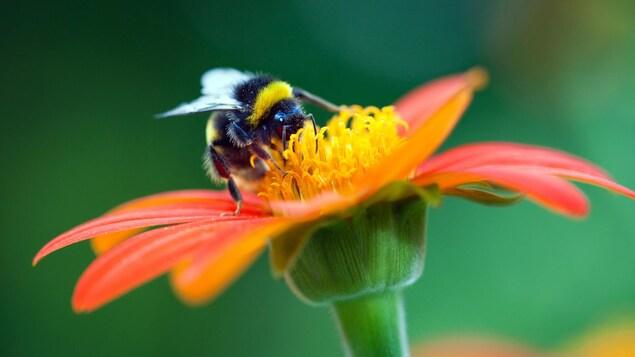 Un bourdon butine une fleur aux pétales rouges.