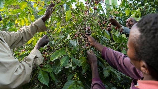 Des travailleurs éthiopiens récoltent des grains de café.