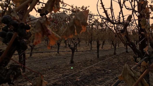 Des vignobles dans la vallée de Napa résistent aux ravages des feux de forêt qui sévissent dans le nord de la Californie