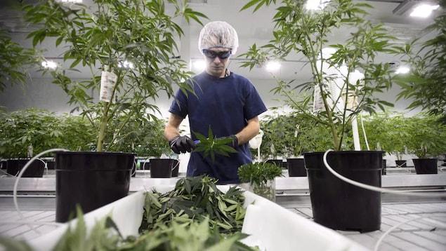 Un homme en train de mesurer une feuille de cannabis.