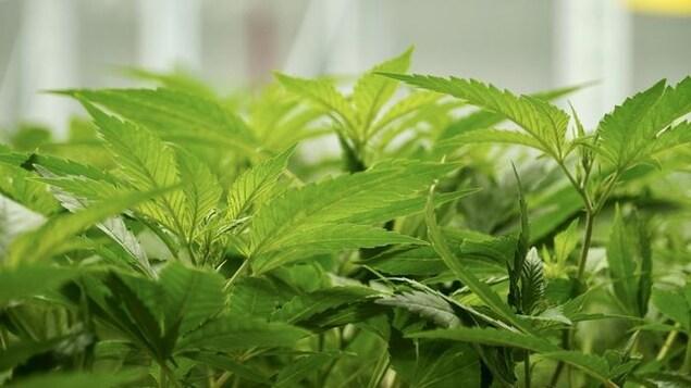 Des feuilles de plans de cannabis.