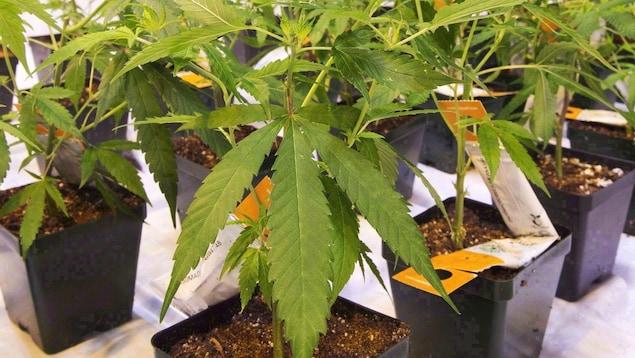 Une dizaine de plants de cannabis plantés dans des pots en plastique.