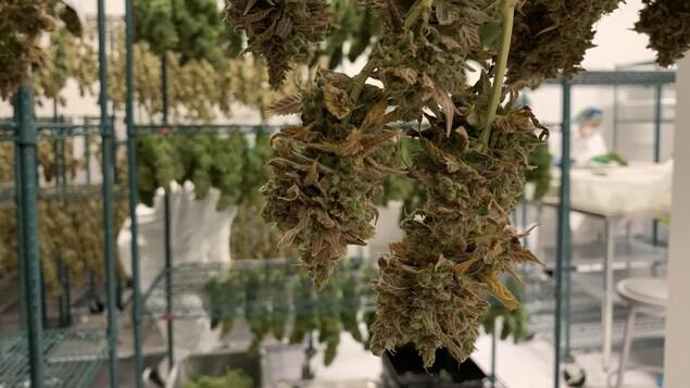 Une grappe de cannabis sèche sur une étagère.