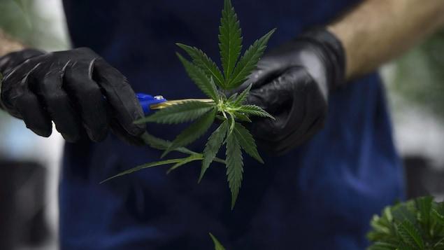 Un travailleur coupe un plan de cannabis dans une usine de production.