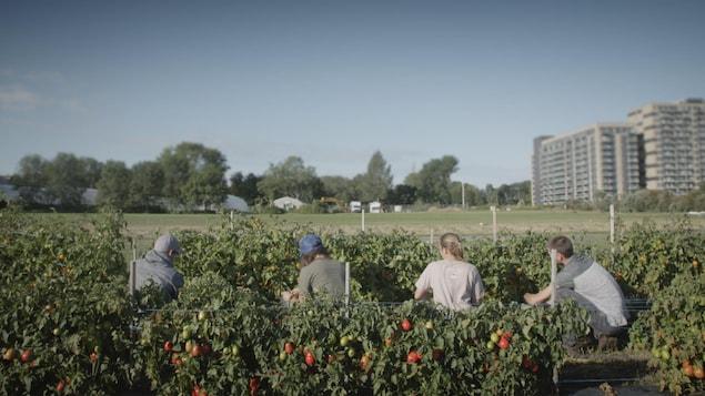 1500 variétés de tomates sont cultivées dans les champs de l'Université Laval.