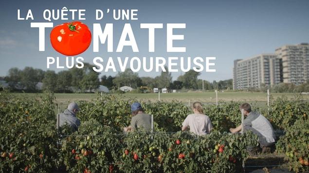 La quête d'une tomate plus savoureuse