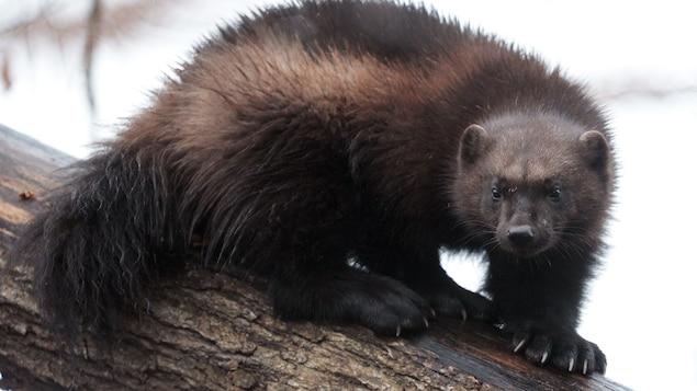 Un carcajou sur un tronc d'arbre
