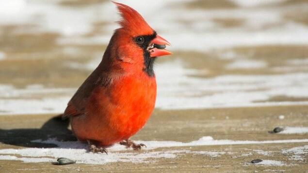 Un cardinal rouge, immobile sur le sol, en hiver.