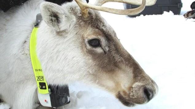 On voit en gros plan et de profil la tête et le cou d'un caribou, autour duquel est installé un collier-caméra.