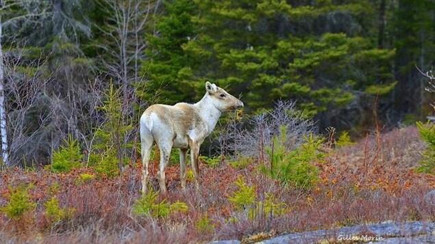 Un caribou en plein air
