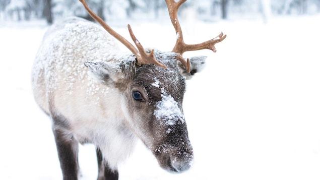 Un jeune caribou au pelage blanc et brun, recouvert partiellement de neige