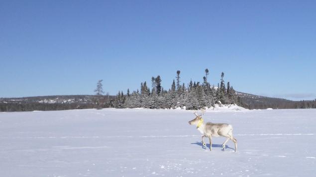 Un caribou avec un collier télémétrique marche seul dans une grand étendu enneigée.
