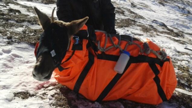 Pour le calmer et faciliter son déplacement, le caribou s'est fait bandé les yeux et bouchés les oreilles puis mis dans un sac de contention.