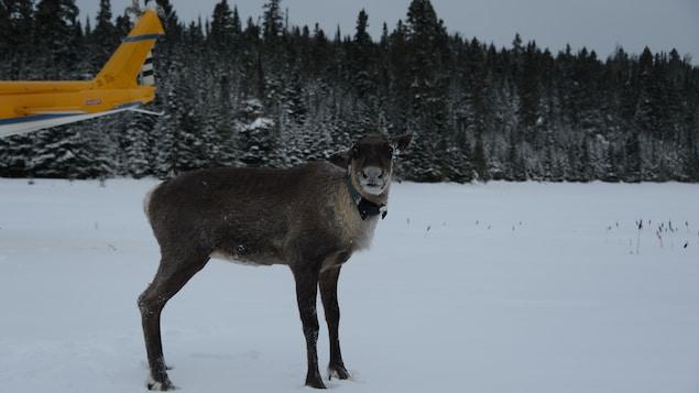 Le ministère des Richesses naturelles et des Forêts de l'Ontario a transporté par hélicoptère samedi 4 caribous vers l'île Slate.
