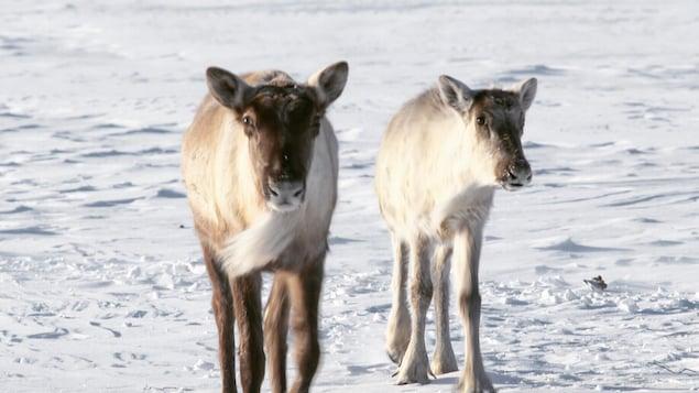 Des caribous montagnards de la Gaspésie