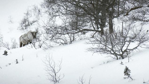 Un caribou montagnard au Mont-Albert dans le parc de la Gaspésie