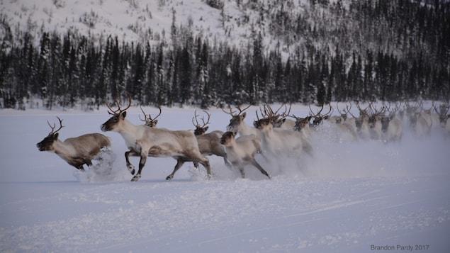 Le troupeau de caribous de la rivière George  au Labrador est maintenant estimé à moins de 9 000 bêtes. On en comptait 27 000 en 2012 et 800 000 au début des années 90.