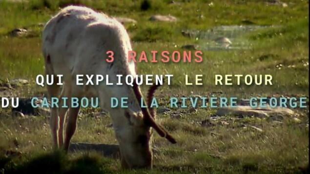 3 raisons qui expliquent le retour du caribou de la rivière George