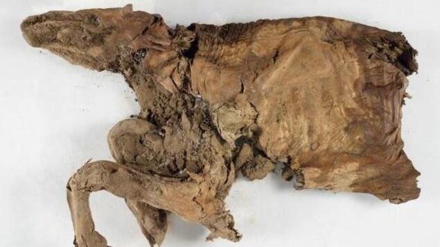 Les restes d'une moitié de caribou, incluant sa tête, son torse et ses pattes avant.