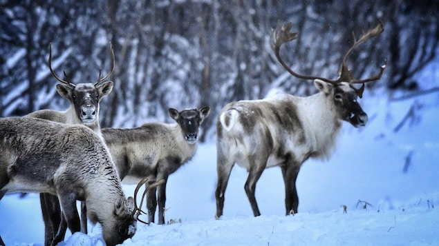 Un petit troupeau de caribous migrateurs marche en forêt.