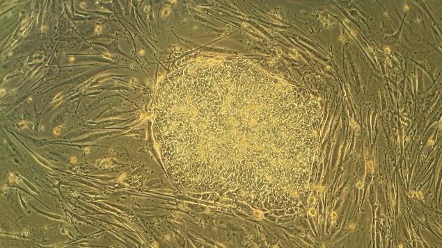 Une colonie de cellules souches.