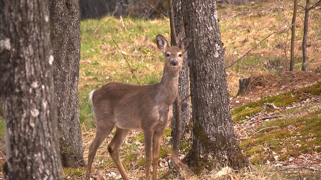 Un cerf de Virginie dans la ville de Mont-Tremblant