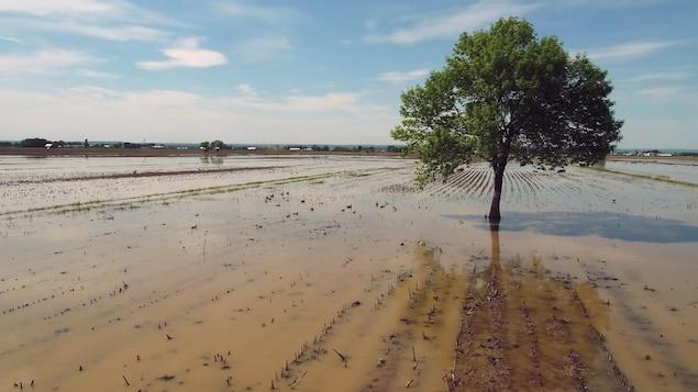 Un arbre au milieu d'un champ agricole inondé.