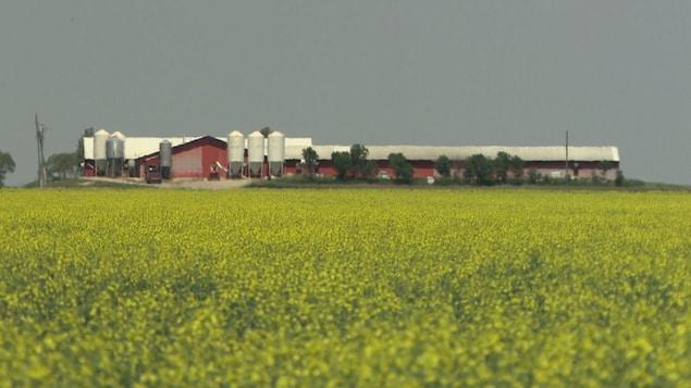 Champ de canola en fleur à l'avant-plan avec une ferme derrière.