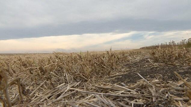 Un champ touché par la sécheresse sous un ciel nuageux en Alberta.