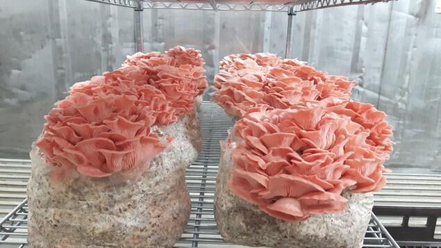 Des champignons de la Pleurotière inc., une entreprise spécialisée dans les champignons biologiques.