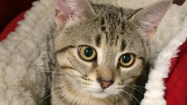 Un chat disponible pour l'adoption au Refuge La Bonne Étoile de Rouyn-Noranda.