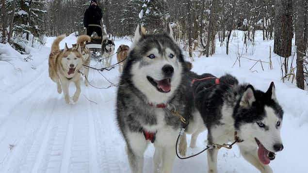 Des chiens de traineau vus de face.