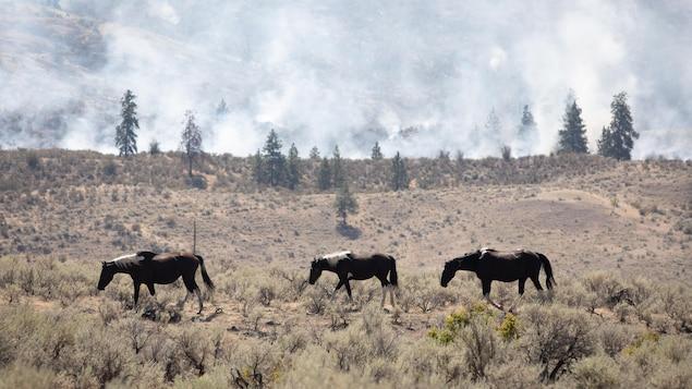 Des chevaux sauvages marchent dans la nature le long d'un panache de fumée du feu Nk'Mip Creek dans l'Okanagan