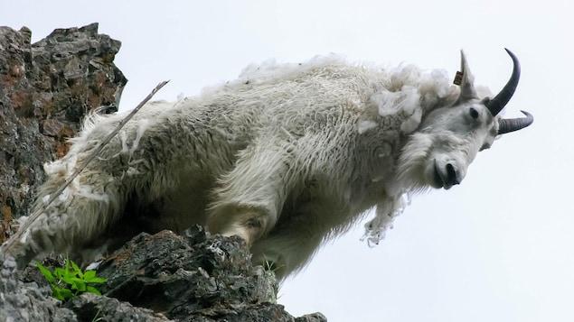 Une chèvre de montagne.
