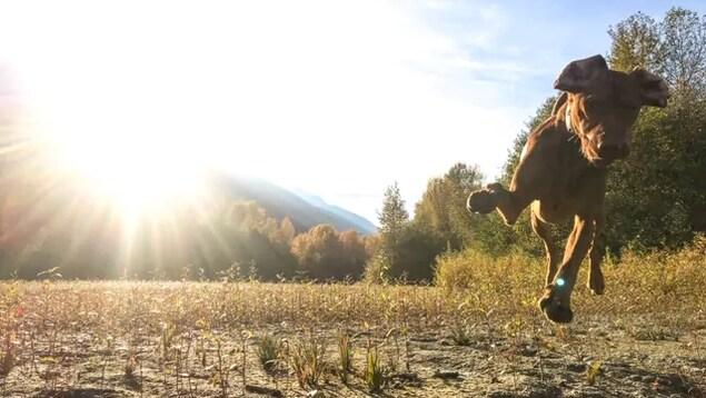 Un chien brun en pleine course dans un champ.