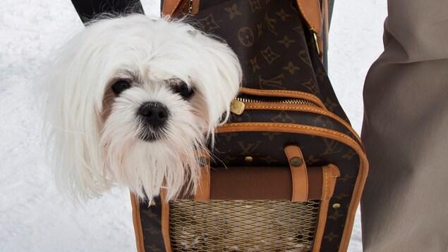 On voit la tête d'un petit chien blanc sortir d'un sac à chien Louis Vuitton.