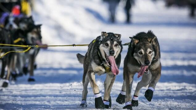 Deux chiens de traîneaux, oreilles couchées, langue sortie, yeux brillants et chaussées de bottillons forcent pour tirer leur attelage dans un virage.