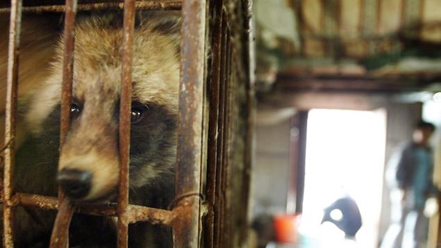 Un chien viverrin dans une cage, le 6 janvier 2004.