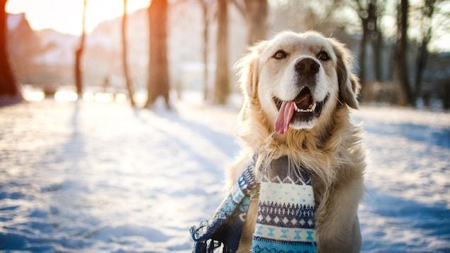 Un chien porte une écharpe autour du cou et joue dans la neige. En arrière plan, on peut voir un boisé.