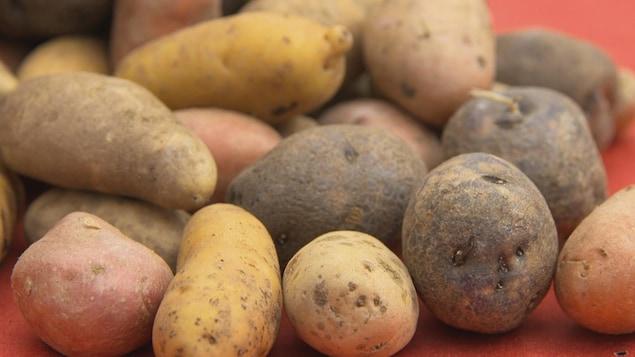 Des pommes de terre jaunes, rouges, blanches.