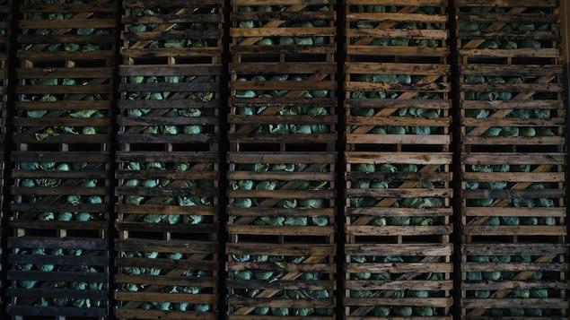 Des cageots remplis de choux verts.