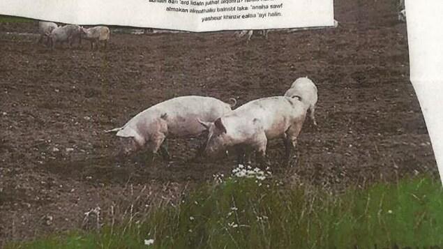 Deux cochons se promènent dans la boue. Un message haineux a été épinglé en haut de la photo.
