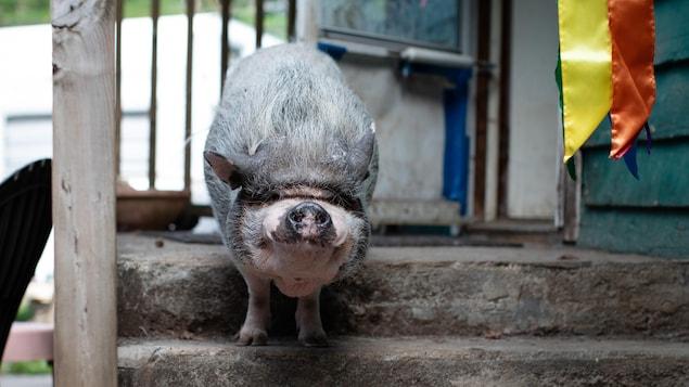 Un cochon domestique sur les marches extérieures d'une maison.
