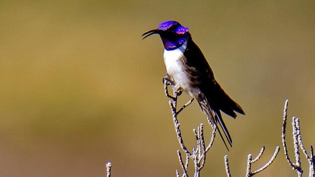 Un colibri équatorien sur sa branche.
