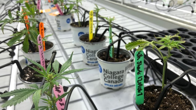 Des petits plans de cannabis dans une salle de culture.