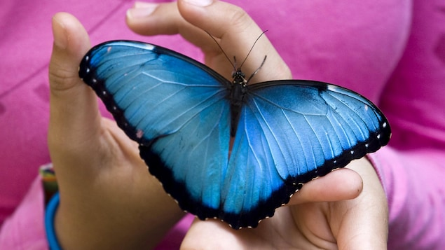 Un papillon Morpho peleides dans la main d'une jeune fille.