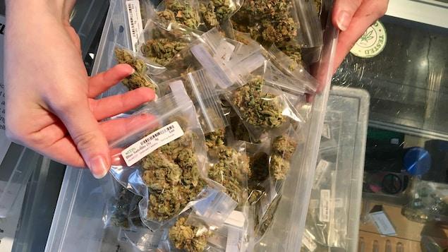 Des mains prennent des sacs de plastique remplis de cannabis, et les offrent à la vue du photographe.